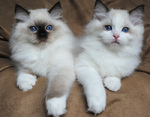 Красивые котята породы Рэгдолл