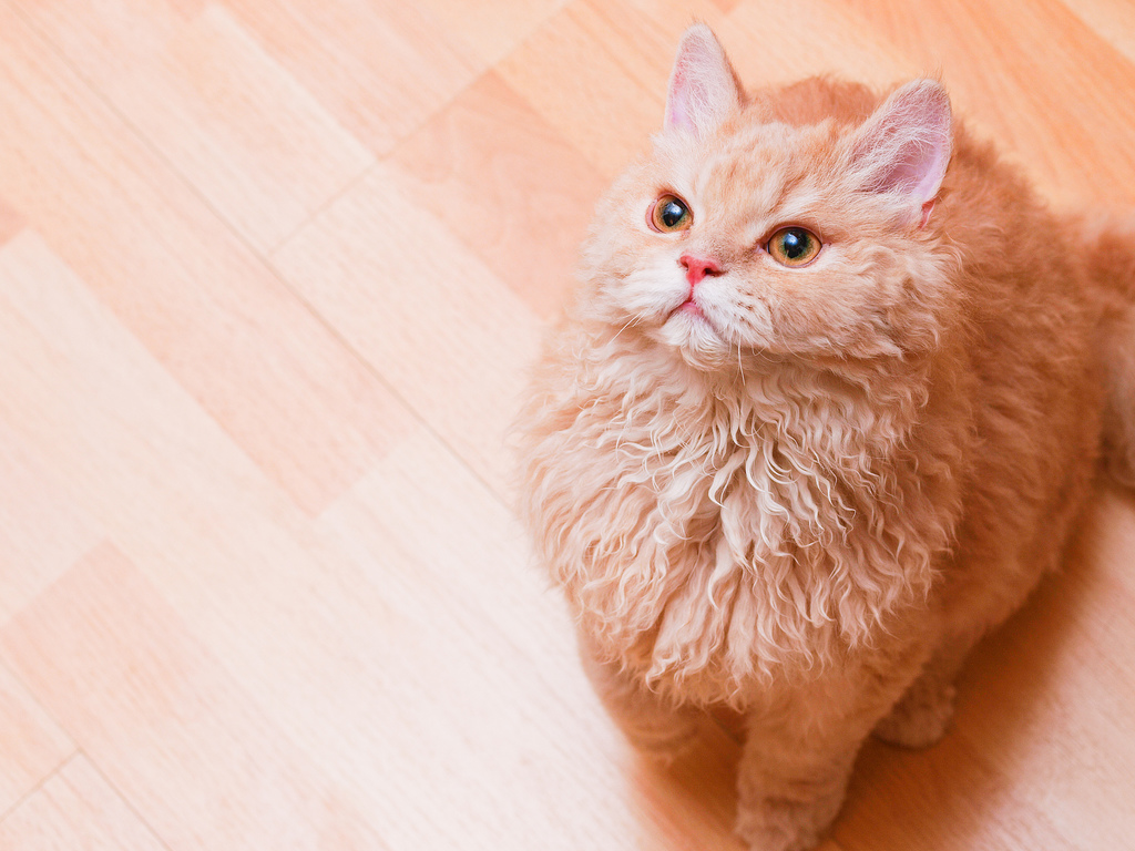Beautiful Selkirk Rex wallpaper