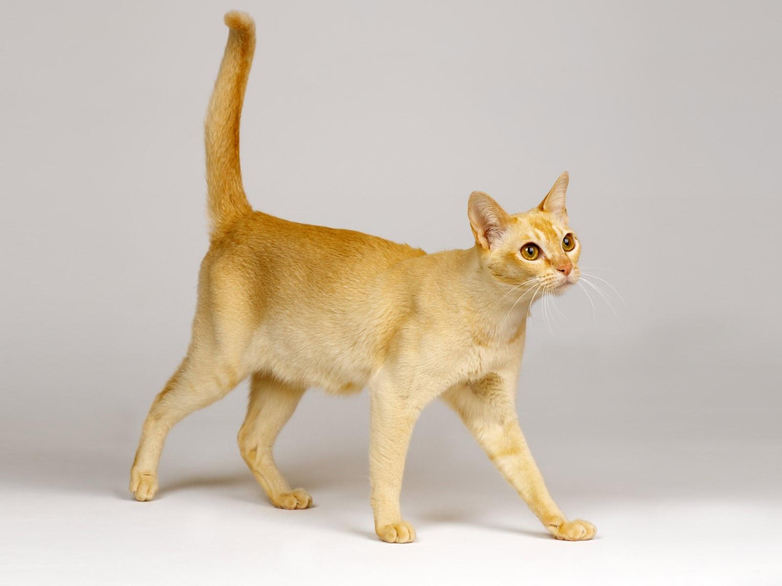 Красивый кот породы Сингапура фото