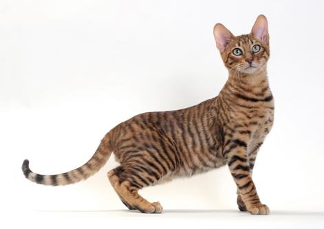 Beautiful Toyger cat wallpaper