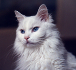 Beautiful Turkish Angora