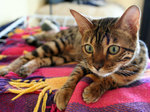 Бенгальская кошка на пледе