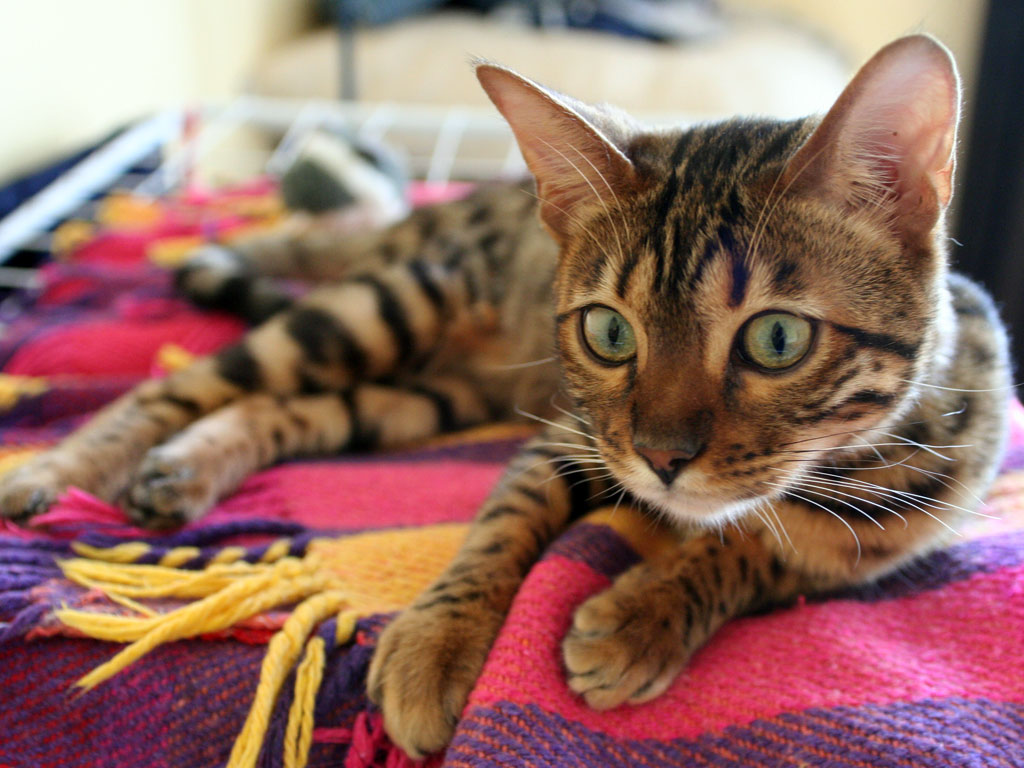 Bengal cat on rug wallpaper