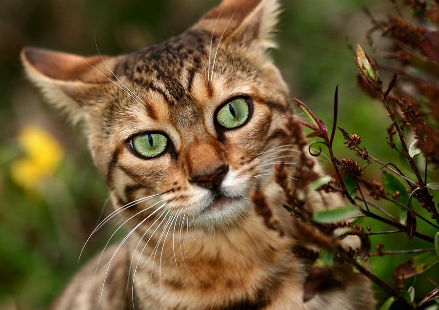 Морда Бенгальского кота фото
