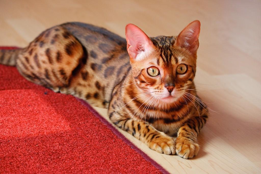 Бенгальская кошка на полу фото