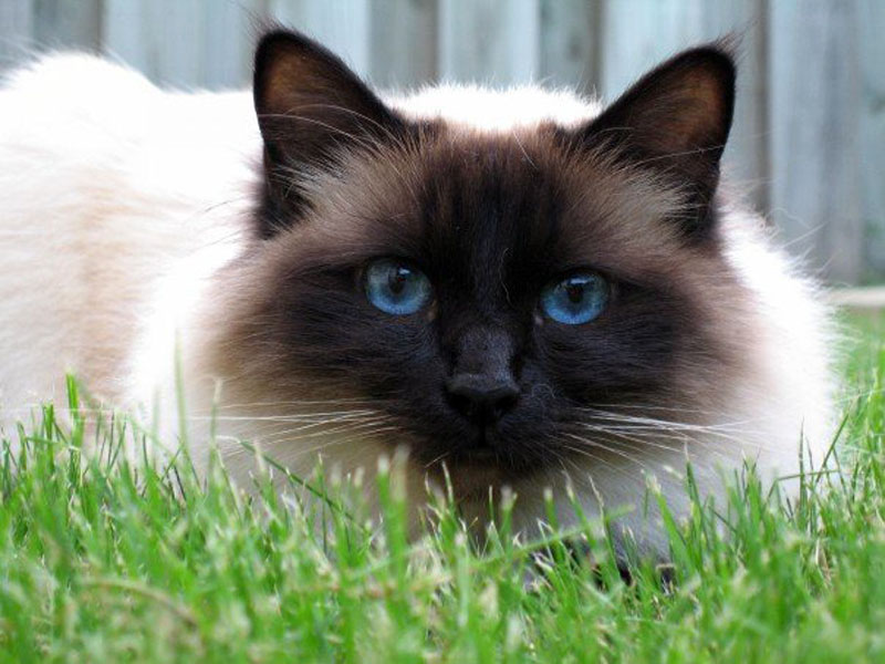 Birman cat on the grass wallpaper