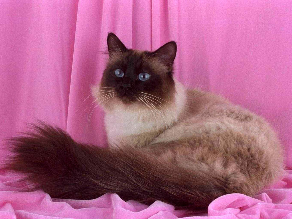 Birman cat pink wallpaper