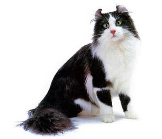 Black and White American Curl  wallpaper