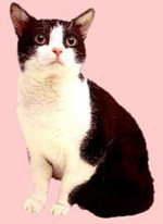 Black and White American Wirehair