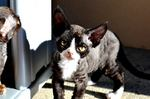 Black and white Devon Rex