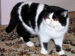 Black and white Exotic Shorthair
