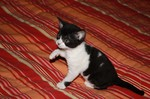 Black and White German Rex kitten