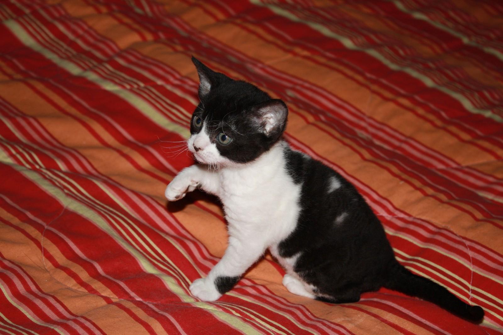 Черно-белый котенок Немецкого Рекса фото