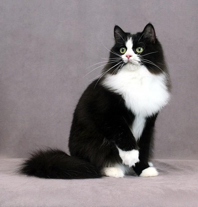 Черно-белый Рагамаффин фото