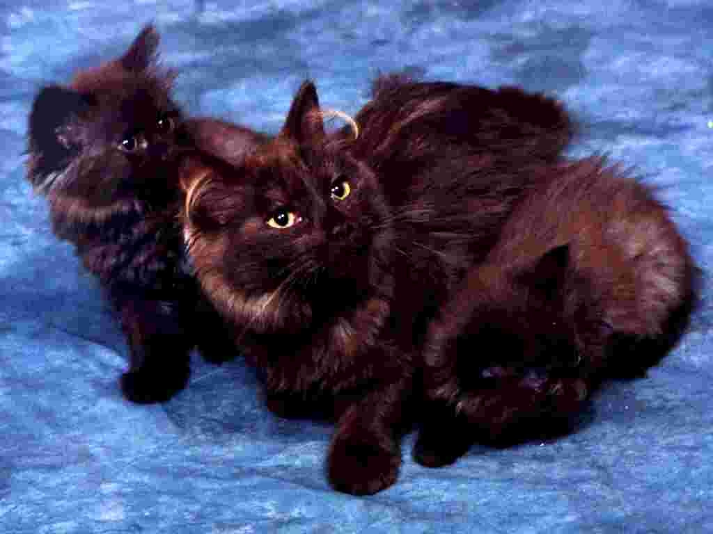 Black British Semi-longhair cats wallpaper