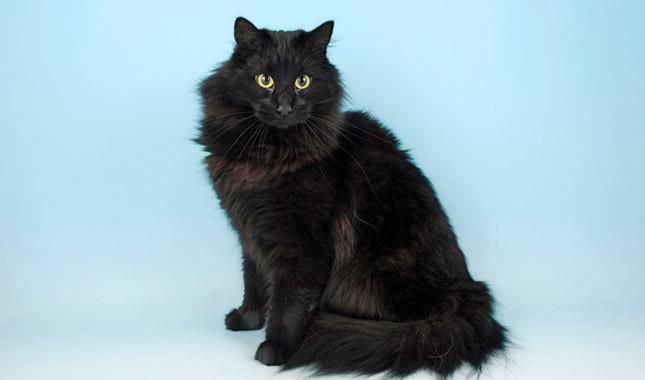 Black Norwegian Forest Cat wallpaper