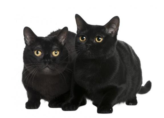 Портрет Бомбейских кошек фото