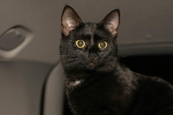 Бомбейская кошка в машине фото