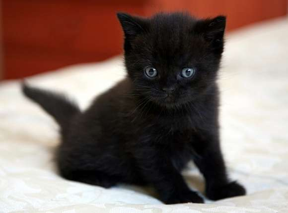 Котенок Бомбейской кошки на кровати фото