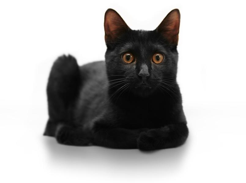 Портрет Бомбейской кошки фото