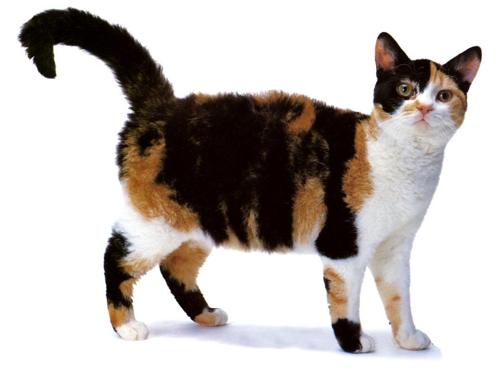 Миловидная Американская жесткошерстная кошка фото
