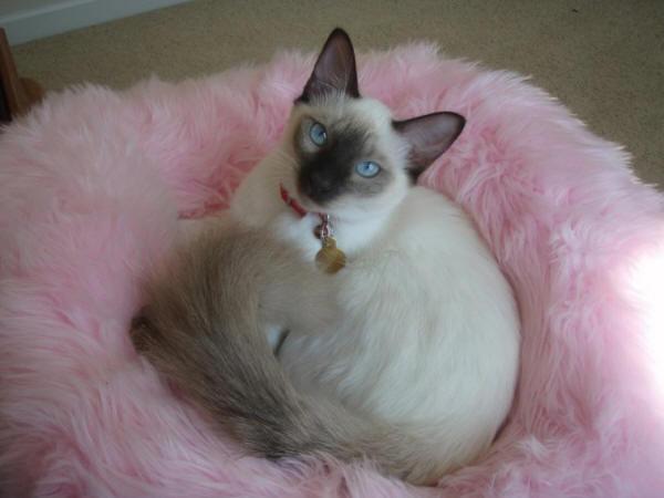 Красивая Балинезийская кошка фото
