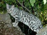 Bonny Bengal cat