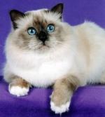 Bonny Birman cat