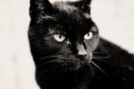 Bonny Bombay cat