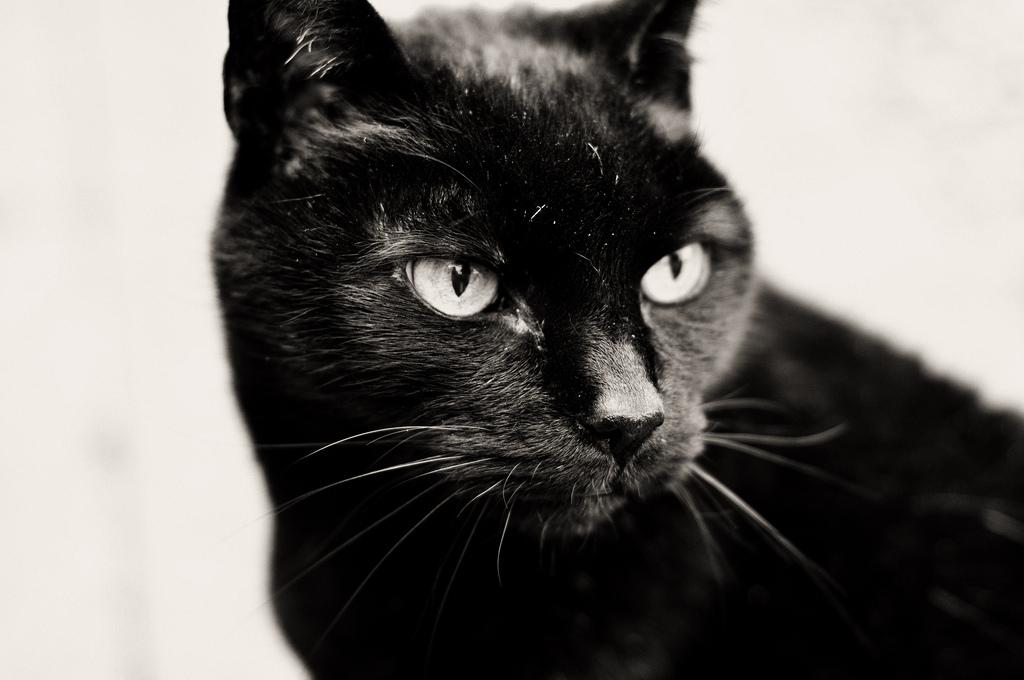 Милая Бомбейская кошка фото