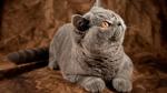 Миловидная Британская короткошерстная кошка