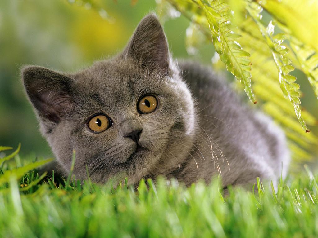 Bonny Chartreux kitten wallpaper