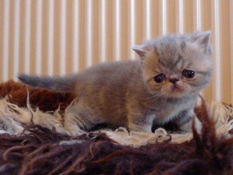 Bonny Exotic Shorthair kitten wallpaper