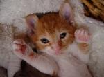 Bonny German Rex kitten