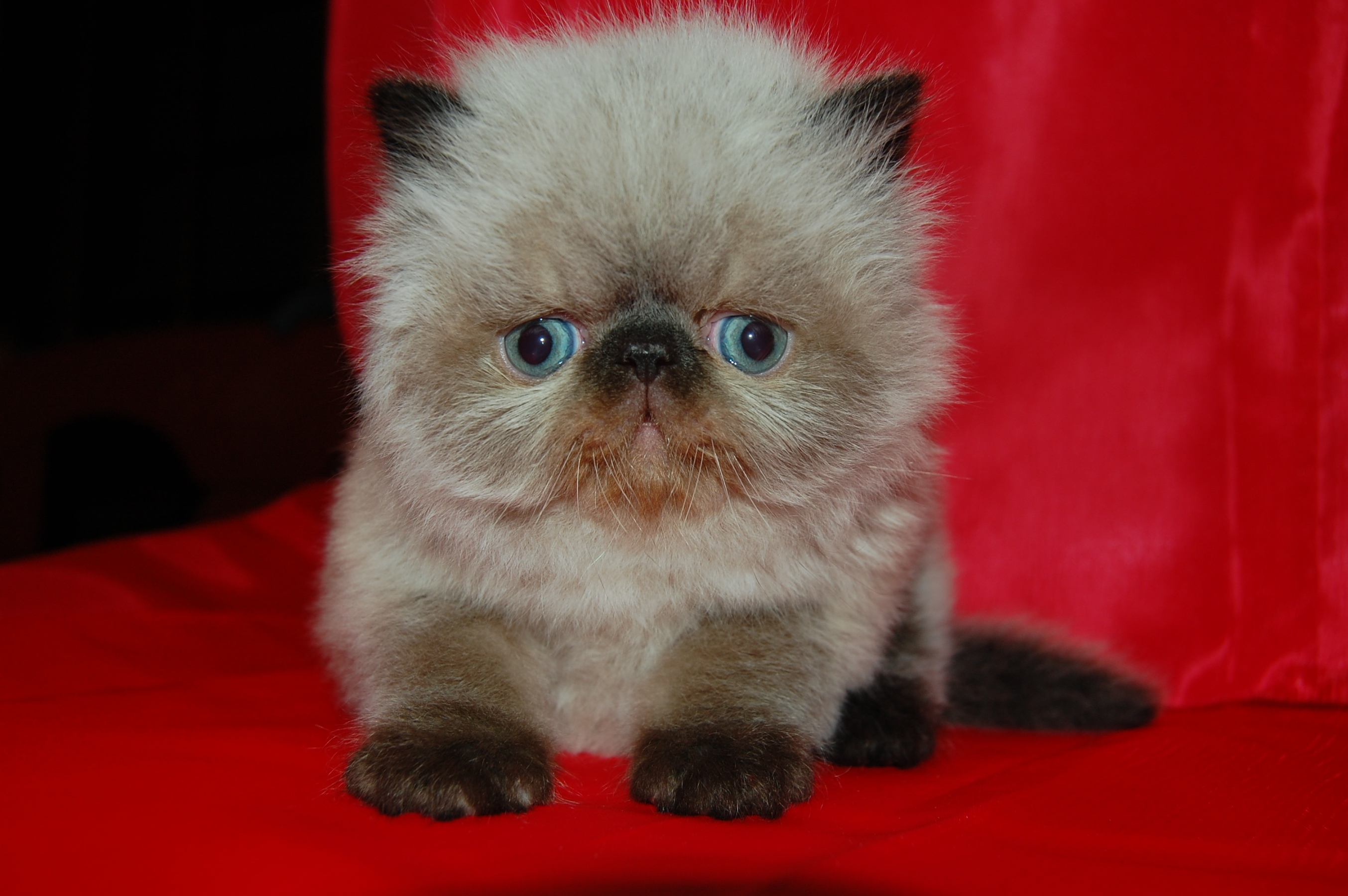 Bonny Himalayan/Colorpoint Persian kitten wallpaper