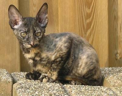 Миловидный кот породы Орегон Рекс фото