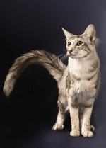 Миловидный кот породы Ориентал длинношерстный