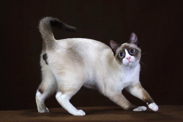 Миловидный кот породы Сноу-шу фото