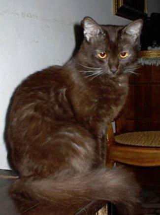 Миловидный кот породы Шоколадный Йорк фото