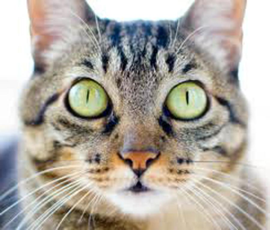 Морда бразильской короткошерстной кошки фото