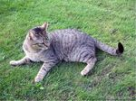 Brazilian Shorthair on grass