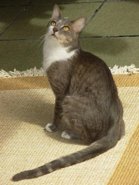 Brazilian Shorthair wallpaper