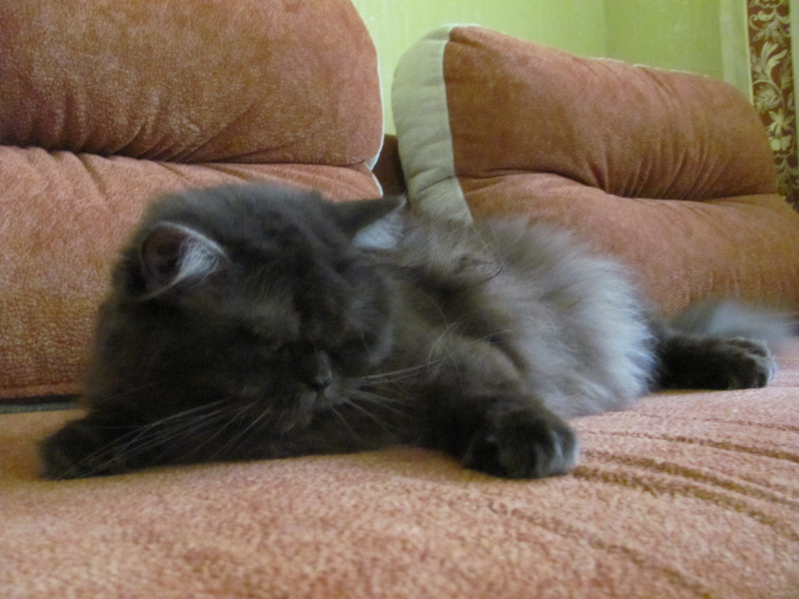 British Longhair kitten on the couch wallpaper