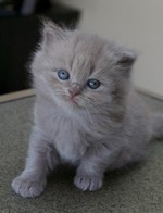 British Longhair kitten