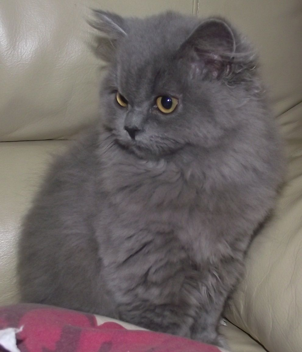 British Longhair kitten watching photo and wallpaper Beautiful
