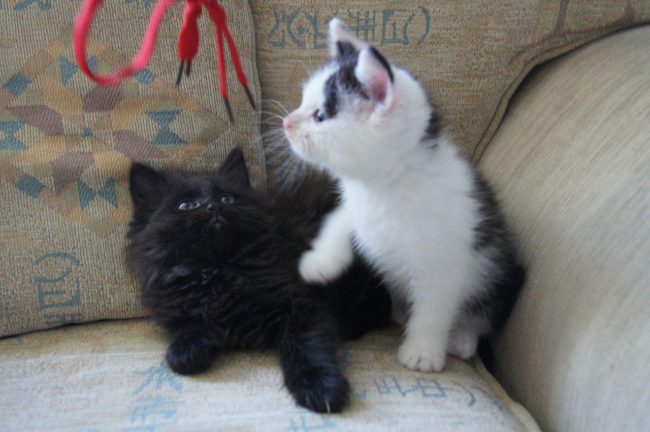 British Longhair kittens photo and wallpaper Beautiful British
