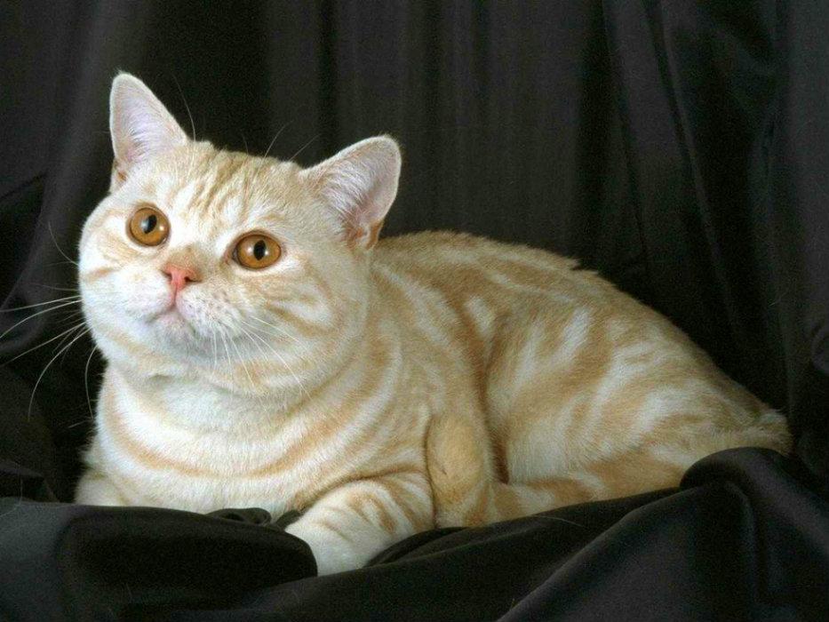Британская короткошерстная кошка на черном фоне фото