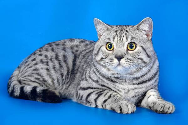 Британская короткошерстная кошка на голубом фоне фото