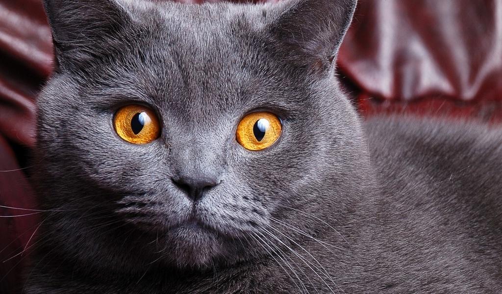 Морда Британской короткошерстной кошки фото