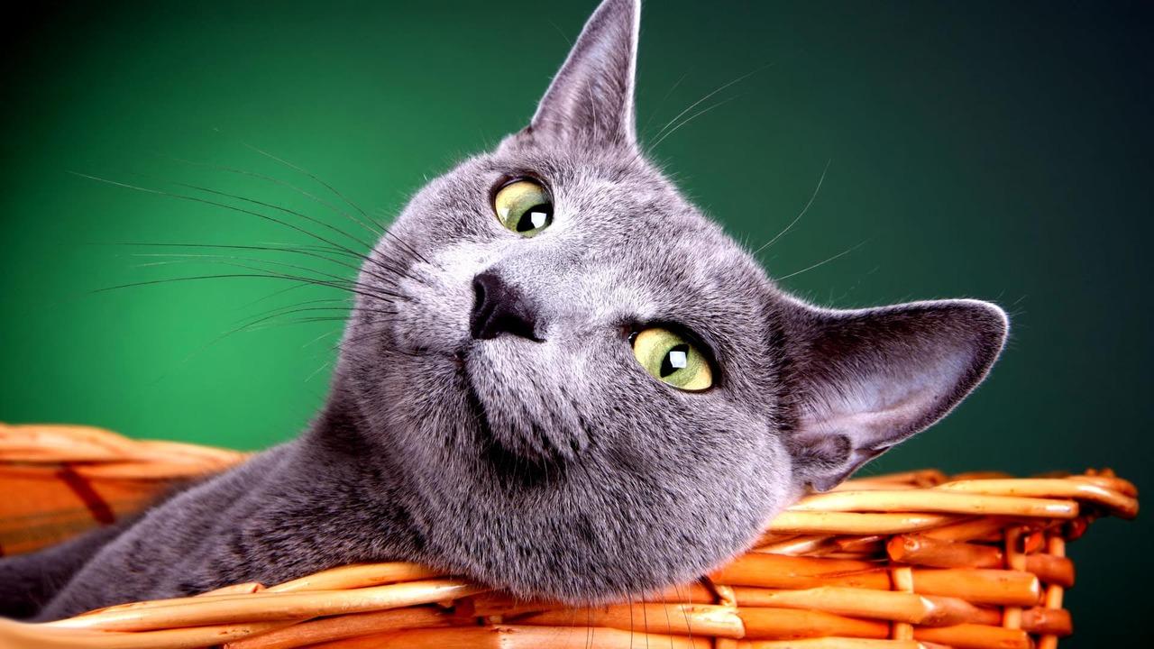 Британская короткошерстная кошка в корзине фото